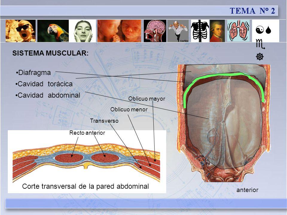 [Se] SISTEMA MUSCULAR: Diafragma Cavidad torácica Cavidad abdominal